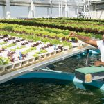 guy in hydroponics green house
